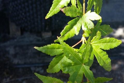 Acer palmatum 100ltRP 1
