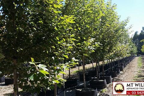 Acer rubrum October Glory 200lt 1