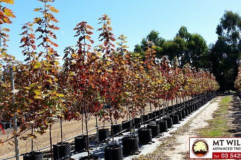 Acer x freemanii Autumn Blaze 45ltRP 1 H