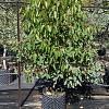 Eucalyptus cladocalyx 'Nana'