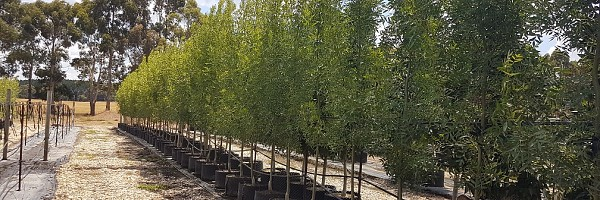 About Mt William Tree Nurseries