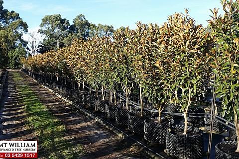 Magnolia grandiflora alta 100ltRP H 1