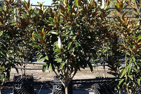 Magnolia grandiflora alta 2