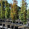 Quercus palustris Pringreen 'Green Pillar'