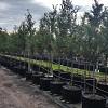 Ulmus parvifolia 'Todd'