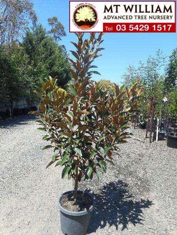 Magnolia Grandiflora Cvs