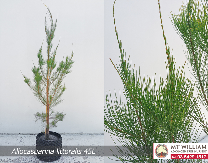 Allocasuarina littoralis Leaf 45L WEB