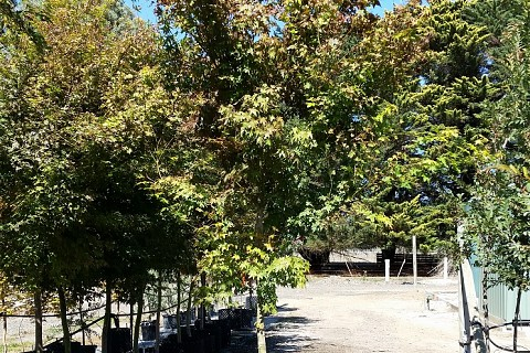 Acer palmatum 100ltRP 3