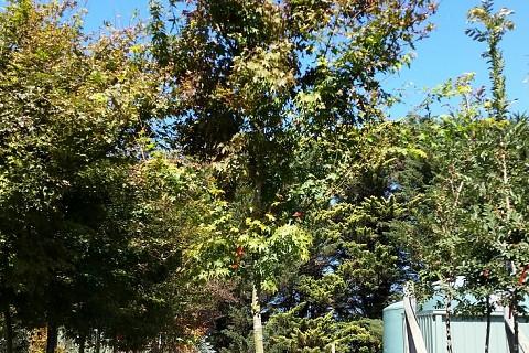 Acer palmatum 100ltRP 4
