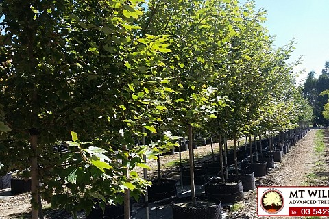 Acer rubrum October Glory 200lt 1