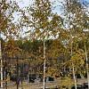 Betula pendula 'Moss White'