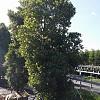 Elaeocarpus reticulatus 'Prima Donna'