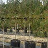 Eucalyptus leucoxylon megalocarpa
