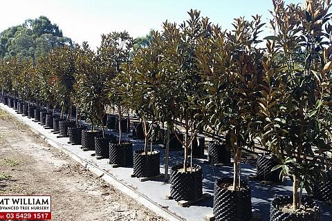 Magnolia grandiflora alta 1 h