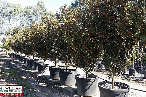 Magnolia grandiflora alta 200lt 1 H