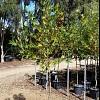 Platanus orientalis var. insularis 'Autumn Glory'