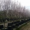 Prunus 'Oakville Crimson Spire'