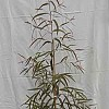 Corymbia tessellaris